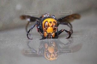 真正面から見たオオスズメバチの写真・画像素材[2263779]