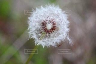 タンポポの綿毛の写真・画像素材[2279435]