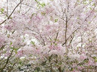 花,春,桜,木,ピンク,白,花見,サクラ,樹木,お花見,イベント,ソメイヨシノ,さくら,ブロッサム
