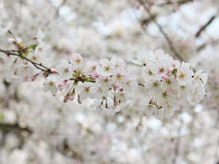 花,春,桜,木,白,花見,サクラ,樹木,お花見,イベント,ソメイヨシノ,さくら,ブロッサム
