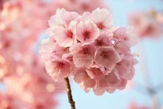 花,春,桜,木,ピンク,花見,樹木,お花見,イベント,さくら,ブルーム