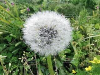 タンポポの綿毛の写真・画像素材[4281060]