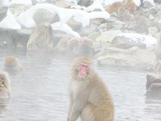冬,猿,温泉,雪,湯けむり,複数,日本猿