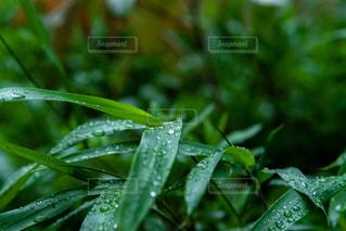 雨の日の草木の写真・画像素材[2210934]