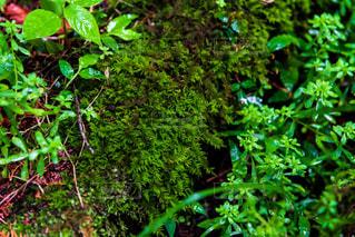 森の中の苔の写真・画像素材[2210983]