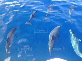 水の中を泳ぐイルカの写真・画像素材[2339890]