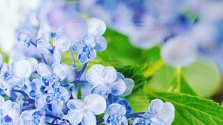 花,雨,あじさい,紫陽花,アジサイ
