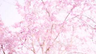 ピンクの桜の写真・画像素材[1980777]
