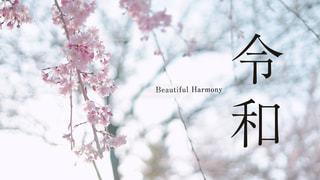 新元号「令和」 背景桜の写真・画像素材[1981649]