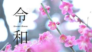 新元号「令和」 背景梅の写真・画像素材[1992208]