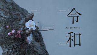 新元号「令和」 背景梅の写真・画像素材[1992222]