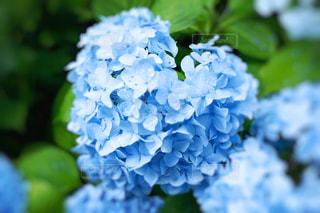 花,緑,青,景色,ハート,紫陽花,庭園,カラー,景観,草木,マーク,アジサイ,ブルーム
