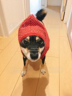 赤い服×柴犬の写真・画像素材[2208914]