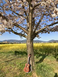 春,桜,屋外,ピンク,ウクレレ,黄色,菜の花,景色,満開,音楽,さわやか,お散歩,歌,お天気