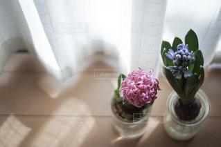 窓際のヒヤシンスの写真・画像素材[2206887]