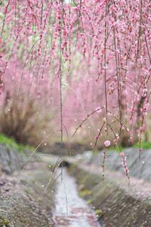 ピンクの花のグループの写真・画像素材[4356551]