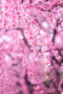 ピンクの花のクローズアップの写真・画像素材[4356554]