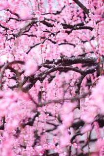 木の枝に咲くピンクの花のグループの写真・画像素材[4356557]