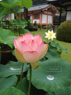 風景,花,雨,ピンク,葉っぱ,水たまり,鮮やか,蓮,梅雨,ロータス