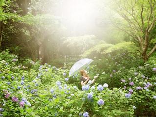 女性,30代,自然,公園,花,雨,傘,緑,霧,光,紫陽花,rain,雫,あめ,6月,JUNE,ビニール傘,雨の日のお出かけ,紫陽花畑,雨の降る日