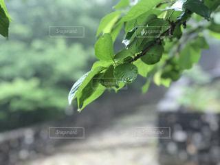 自然,公園,雨,緑,rain,雫,あめ,6月,JUNE,桜の木,雨の日のお出かけ,雨の降る日