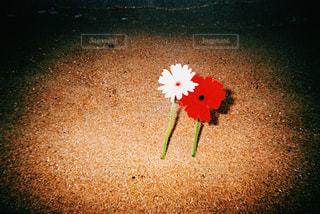 花,屋外,赤,白,砂浜,鮮やか,外,地面,フィルム,雰囲気,カラー,フィルム写真,エモい,フィルムフォト