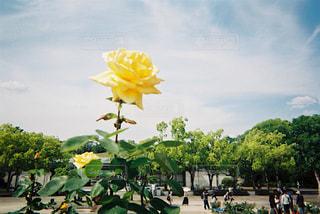 空,花,屋外,バラ,薔薇,フィルム,雰囲気,カラー,フィルム写真,エモい,フィルムフォト