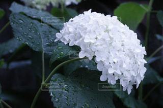 自然,雨,植物,紫陽花,観葉植物,梅雨,雨の日,アジサイ