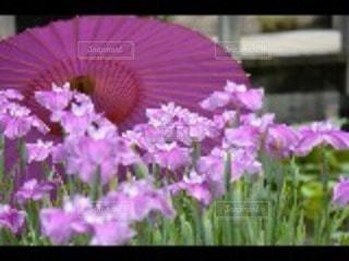和傘と花しょうぶの写真・画像素材[2219425]