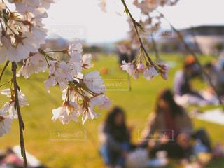 公園,桜,芝生,屋外,散歩,お花見,レジャー,友達,お散歩,ライフスタイル,おでかけ