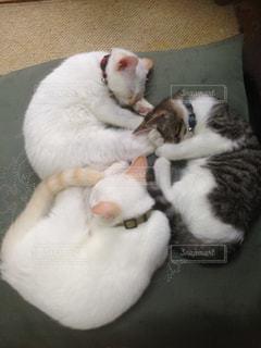 口を開けて白い猫の写真・画像素材[2291490]