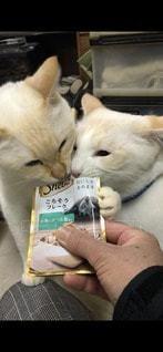 猫,動物,白,かわいい,ペット,人物,二匹,ネコ,シーバ,sheva
