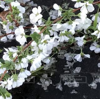 水たまりと白い花の写真・画像素材[2217922]