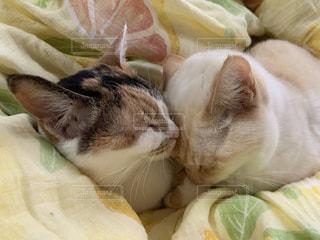 猫,動物,屋内,かわいい,ペット,寝る,ふとん,ネコ