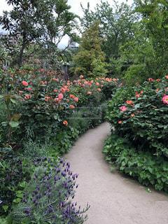 風景,空,花,屋外,ピンク,緑,白,散歩,紫,バラ,景色,ラベンダー,樹木,道,散歩道,草木,フローラ