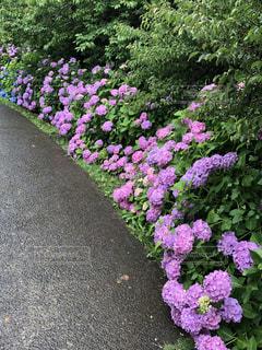 風景,公園,屋外,ピンク,緑,散歩,紫,景色,道,散歩道,草木,日中,アジサイ,ガーデン,フローラ