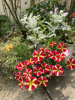 庭の変わったペチュニアの写真・画像素材[2264669]