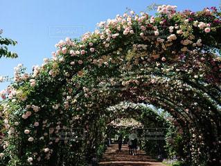 風景,空,ピンク,緑,白,青空,青,散歩,バラ,景色,満開,アーチ,横浜,イングリッシュガーデン,お出かけ,ガーデン,フローラ