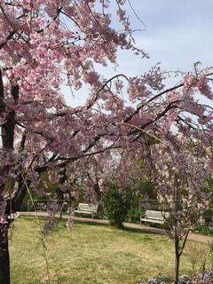 空,公園,花,春,桜,芝生,屋外,ピンク,緑,青空,青,散歩,ベンチ,散歩道,ブロッサム,横浜イングリッシュガーデン