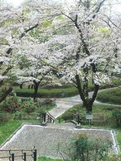 桜の花びらが落ちてる三ツ沢公園の散歩道の写真・画像素材[2278604]