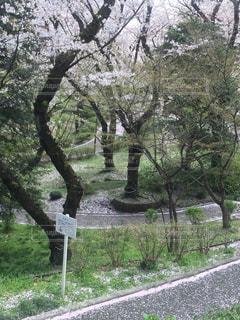 満開の三ツ沢公園の写真・画像素材[2278607]