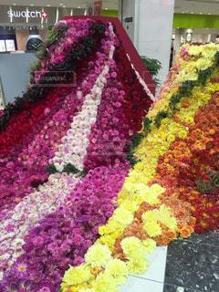 スカートのように流れる形の生のダリアの花の写真・画像素材[2343420]