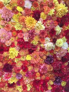 ダリア展の生のダリアのカラフルな花の写真・画像素材[2344281]