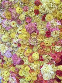 ダリア展の黄色系のダリアの生の花の壁飾りの写真・画像素材[2344285]