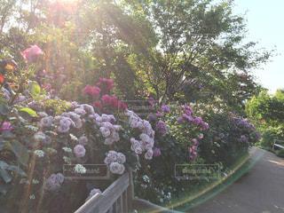陽の当たるバラ園の写真・画像素材[2433795]