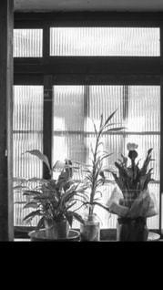 自然,白,モノクロ,室内,窓,窓辺,植木,フィルム,フィルム写真,スリガラス,フィルムフォト