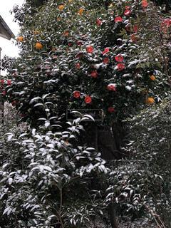 椿と雪の写真・画像素材[2850749]
