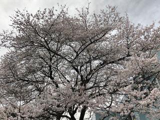 自然,空,公園,花,屋外,ピンク,枝,満開,樹木,草木,さくら,ブロッサム