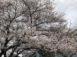 空,公園,花,春,屋外,ピンク,枝,花見,満開,樹木,桜の花,さくら,ブロッサム