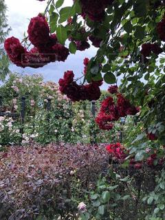 新芽が赤いバラの写真・画像素材[4362584]